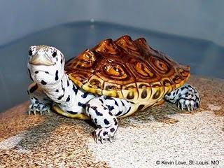 Db1_turtle